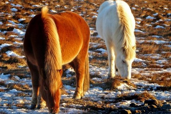Лошади исландской породы на лугу