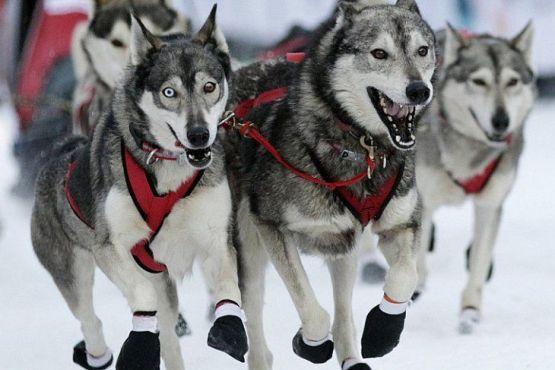 Антарктика фото – собачьи упряжки