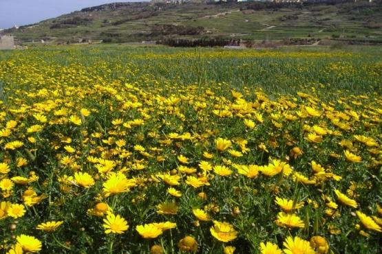 Поле весенних цветов рядом с Марсалфорном
