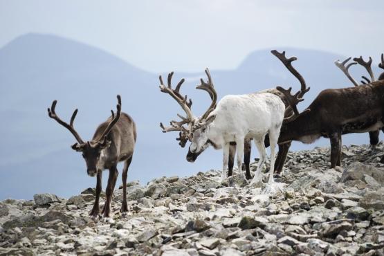 Оленеводство– традиционное занятие коренных жителей Норвегии