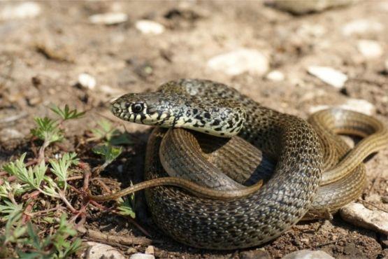 На каменистых пляжах Черногории можно встретить змей