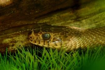 Змеи в Камбодже