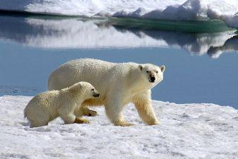 Гренландия фото – белый медведь